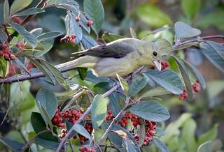 Scarlet Tanager, Pinto Lake, Watsonville, California, 11-23-20