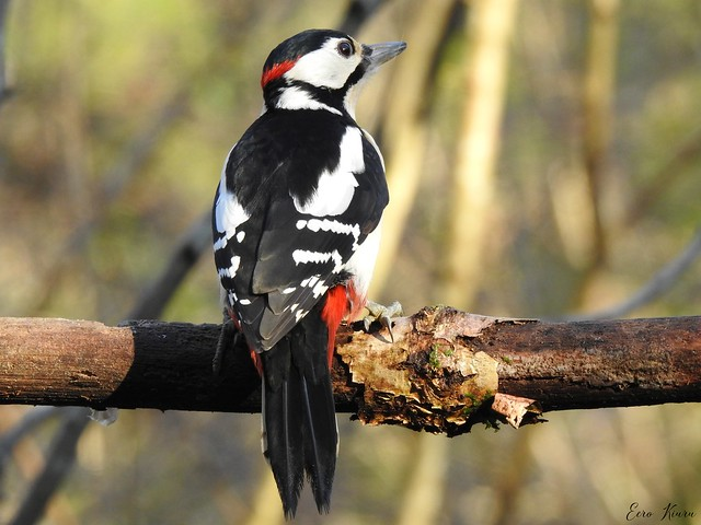 Great Spotted Woodpecker ♂ (Dendrocopos major)