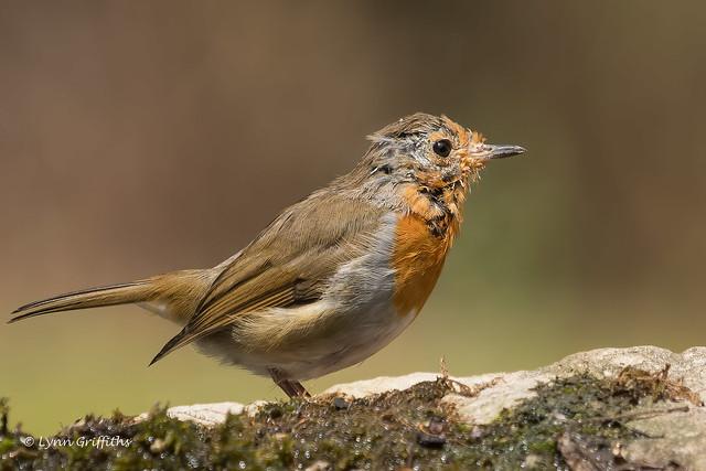 Robin - A tough life 502_8042.jpg