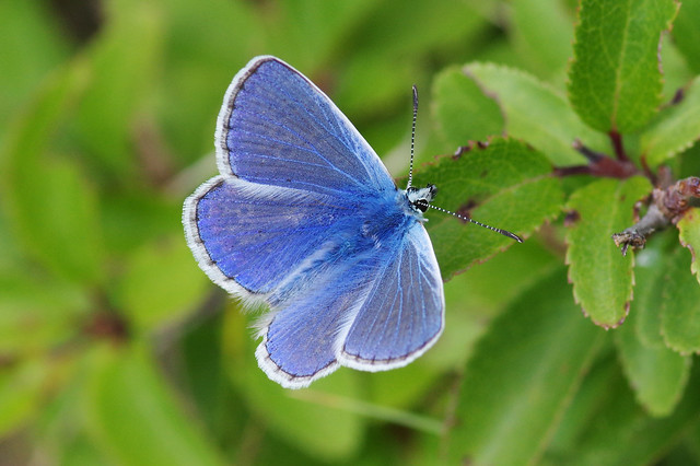 IMGP7616c Common Blue, Devil's Dyke (Cambs), July 2020