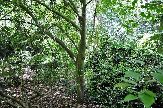 Birch-Leaf Maple, Acer. Stachyophyllum Betulifolium
