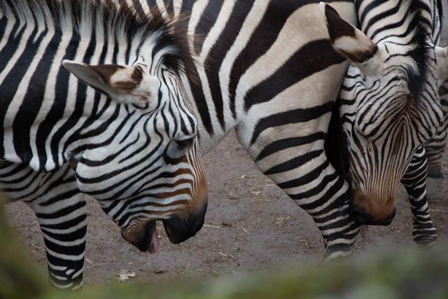 Hartmanns bergzebra (Equus zebra hartmannae)   GaiaZOO Kerkrade