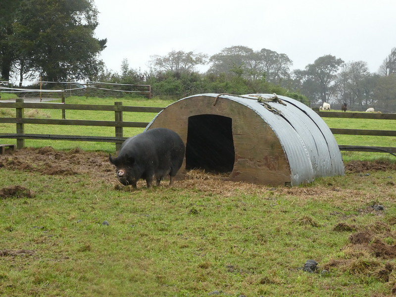 Rare breeds at The Lost Gardens of Heligan