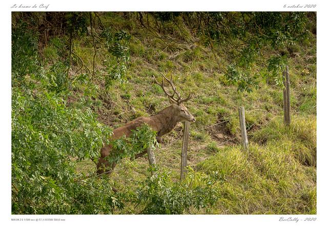 Le cerf | The deer