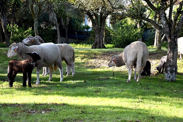 November lambs in Portugal