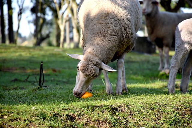 Sheep eating an orange