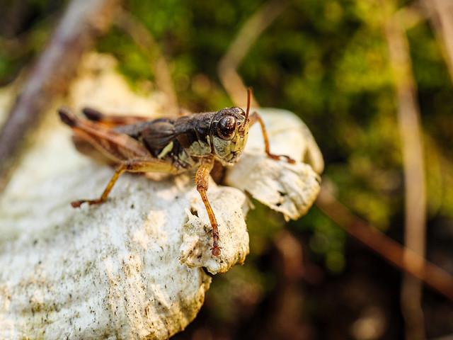 Northern Grasshopper 2
