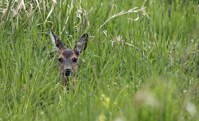 face to face  ><  Roe deer in the meadow