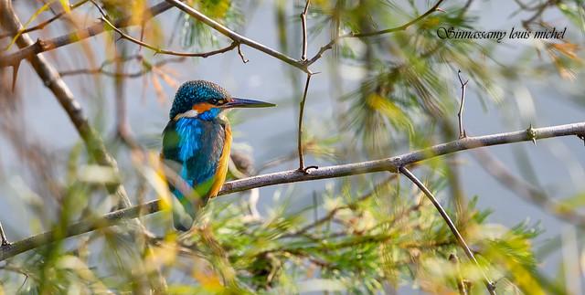 ♂ Common kingfisher / ♂ Martin-pêcheur