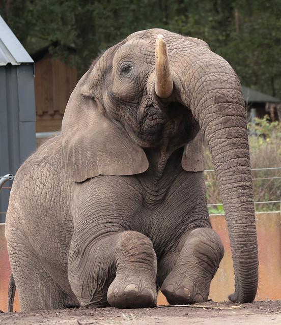 African elephant Ouwehand 9K2A9170
