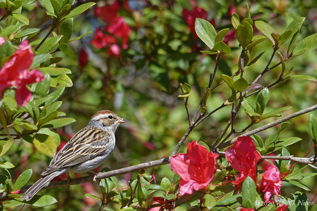 _DSC8251 Chipping Sparrow