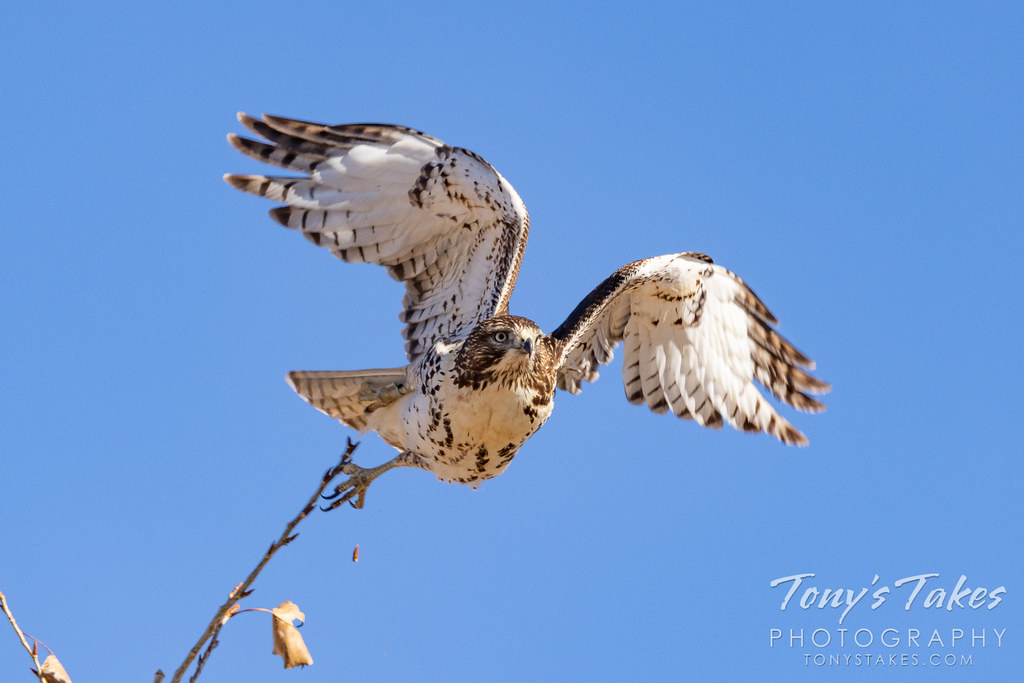 Red-tailed hawk leaps into action.