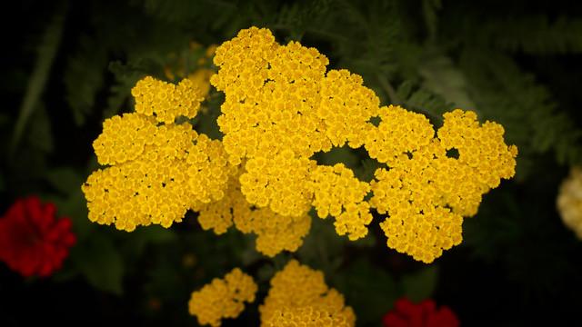 Yellow Yarrow (Explore)