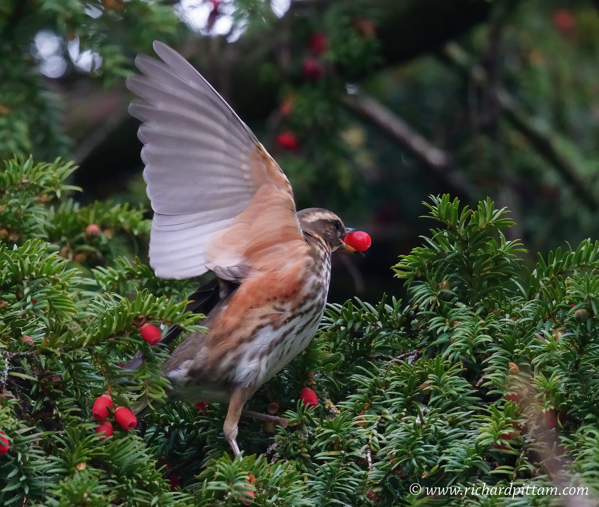 Redwing - see where it gets it's name.
