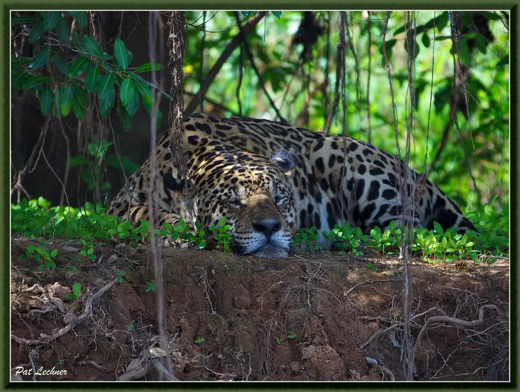 Jaguar  Pantanal Brésil