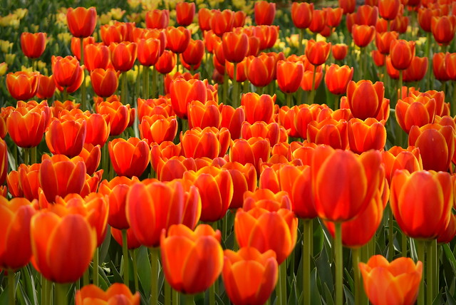 Red tulips sea