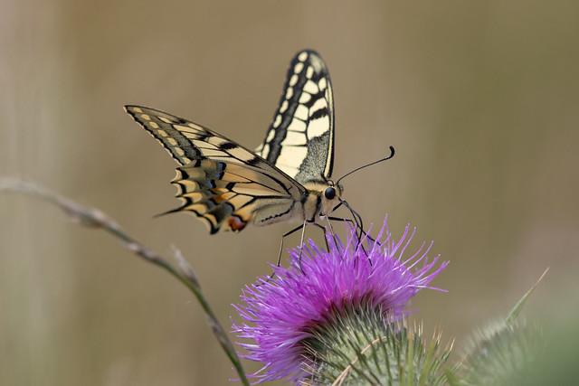 European Swallowtail (Papilio machaon) Koninginnepage
