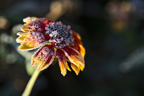 Frosty Blanketflower