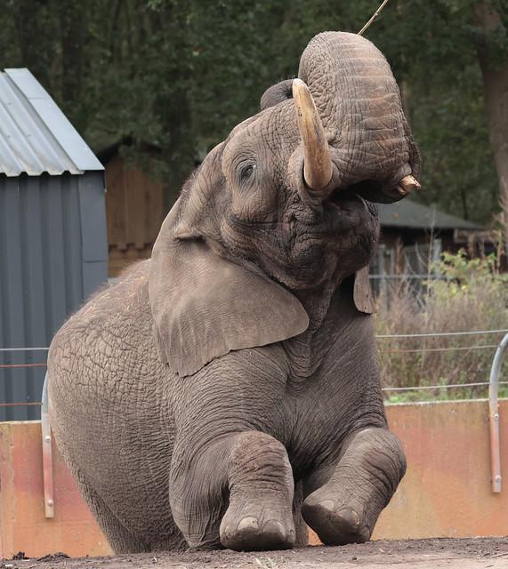 African elephant Ouwehand 9K2A9160