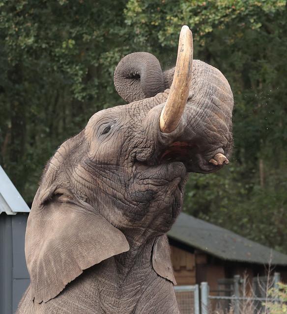 African elephant Ouwehand 9K2A9182