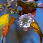 Double-flowering Plum (Prunus x blireiana) (DHC0033)