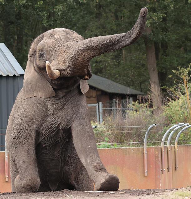 African elephant Ouwehand 9K2A9183