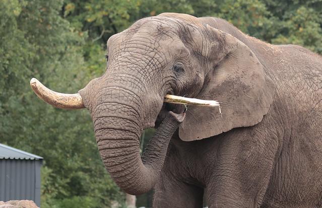 African elephant Ouwehand 9K2A9238
