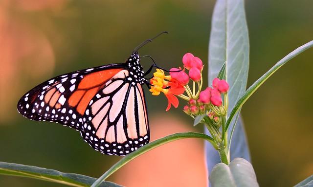 Raising Monarchs (hobby) DSC_2686