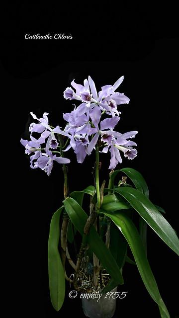 Cattlianthe Chloris var. coerulea