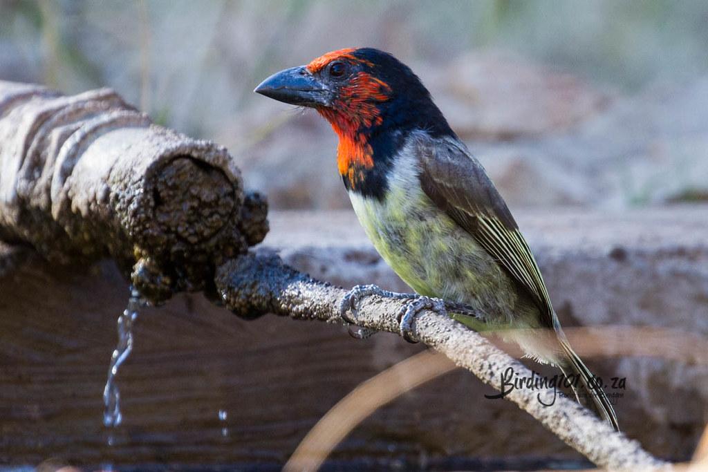 Black-collared Barbet, Kameelpoort, Northam, Limpopo, Jul 2020