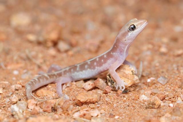 Pale-striped ground gecko (Lucasium immaculatum)