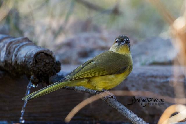 Yellow-bellied Greenbul, Kameelpoort, Northam, Limpopo, Jul 2020