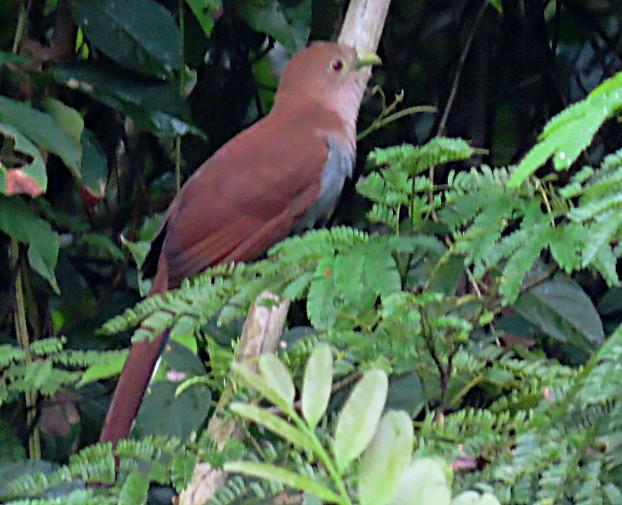 Squirrel Cuckoo, Piaya cayana