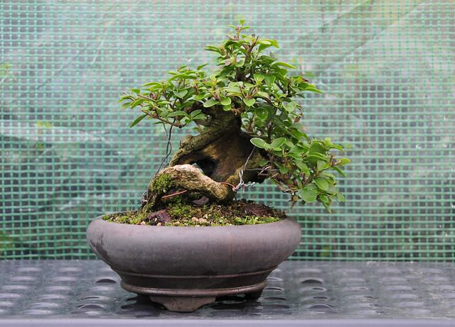 Privet Bonsai in Ceramic Pot (front view)