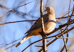 mourning dove320-8