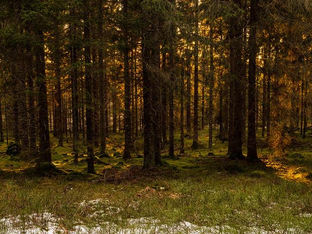 Sunset behind the forest-Romeriksåsen-130186