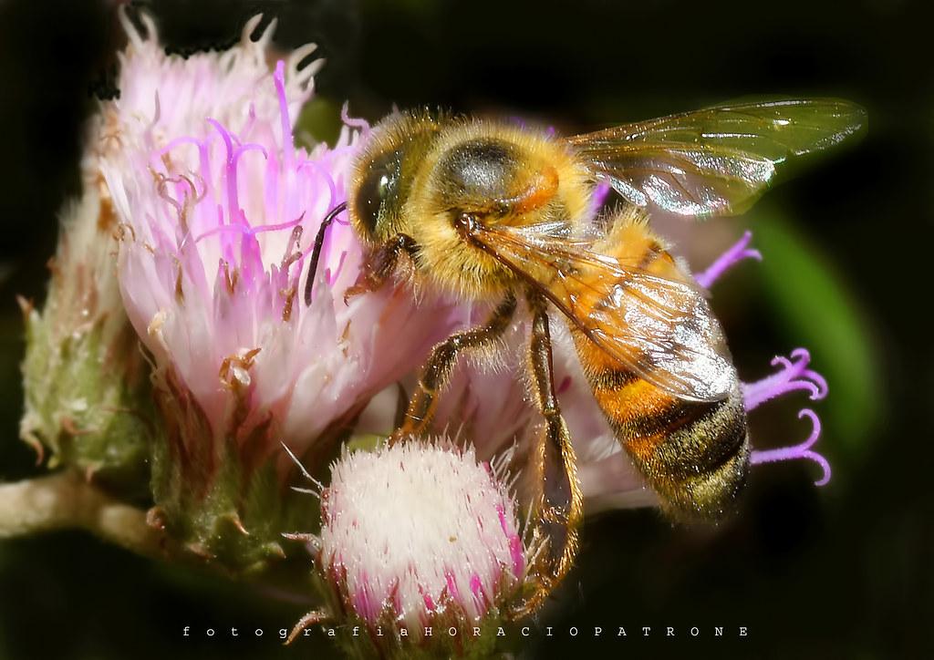 - ABEJA  ( BEE ) EN MICRO FLORES ... (Vernonia scorpioides) HIERBA DE SAN SIMÓN  ,Toma en reserva Ecologica Costanera Sur, RECS, Buenos Aires .Argentina