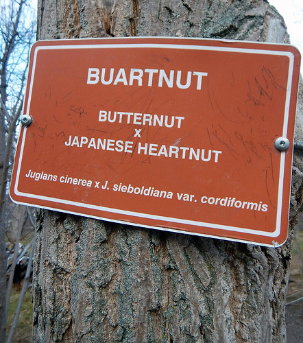 Label of a tree called a Buartnut, apparently a combination of a Butternut and a Japanese Heart Nut tree, none of which I've ever heard of before