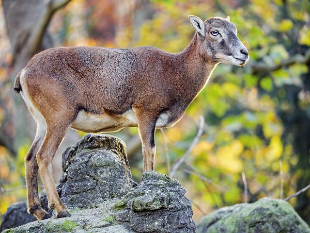 Standing female mouflon