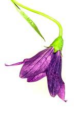 A bellflower.