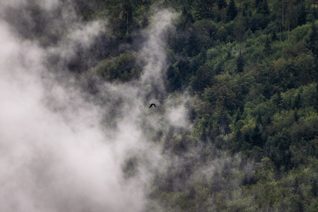 Bird flying over foggy forest
