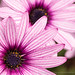 Osteospermum with Stripes, 3.23.17