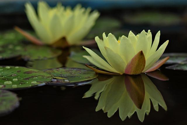 Water lily Yellow Sensation (Nymphaea Yellow Sensation)