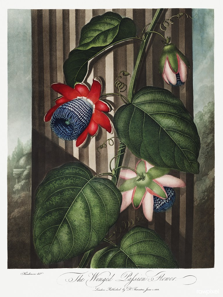 The Winged Passion-Flower from The Temple of Flora (1807) by Robert John Thornton. Original from Biodiversity Heritage Library. Digitally enhanced by rawpixel.