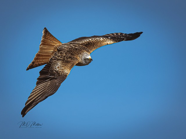 Red Kite #3: (Milvus milvus)
