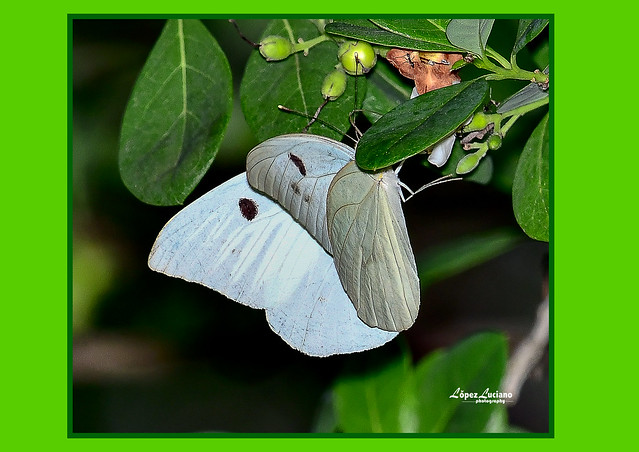 Foto macro de mariposa de República Dominicana:Mariposa papelillo.( Ganyra josephina.)