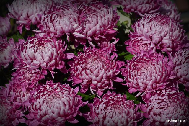 2020-11-095 chrisanthemums in the sun