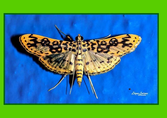 Foto macro de polillas de República Dominicana:Asturodes fimbriauralis,.