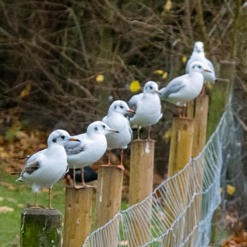 Black headed gulls, winter plumage