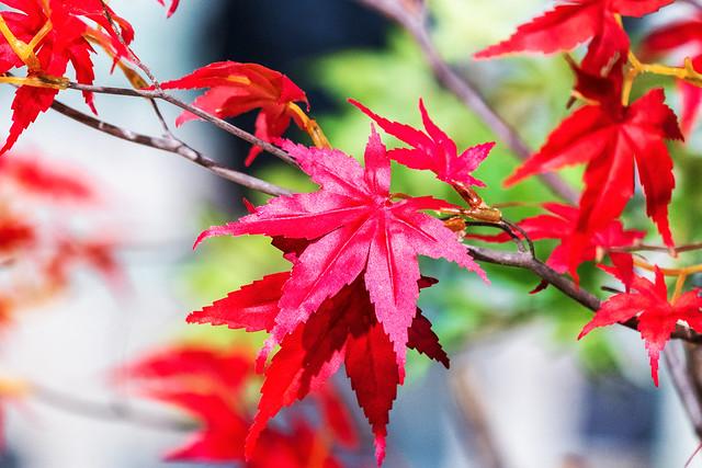 Maple leaves of Imitation Flowers : 模造花の紅葉